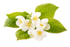 Jasmine white flowers Stock Photo