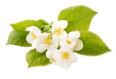 Jasmine white flowers Stock Photo