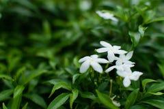 jasmines στοκ εικόνες με δικαίωμα ελεύθερης χρήσης