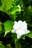 Jasminoides da gardênia Fotos de Stock Royalty Free