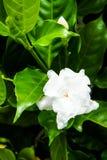 Jasminoides de la gardenia Fotos de archivo libres de regalías