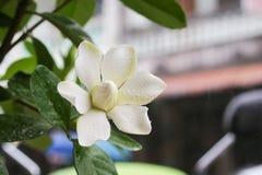 Jasminoides de la gardenia Fotografía de archivo libre de regalías