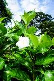 Jasminoides di gardenia Immagini Stock