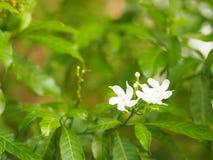 Jasminoides Gerdenia Crape jaśminu biały kwiat piękny w naturze zdjęcie stock