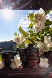 Jasminte i små keramiska koppar Royaltyfri Fotografi