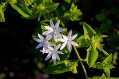 Free Jasminum  7 Petals &x28;Jasminum Multipartitum&x29; Nature Flowers White, Close Up Royalty Free Stock Image - 90204006
