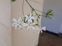 Jasminum auriculatum royalty free stock photo