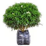 Jasminum Auriculatum flower tree stock photo