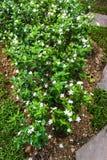 Jasminum Auriculatum flowers stock photography