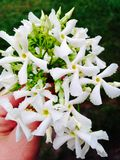 Jasmine Jasminum. Hand picked tiny bouquet Royalty Free Stock Images