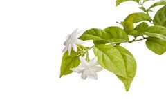 Jasminum flower with space isolated on white background. stock photos