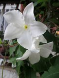 Jasminum grandiflorum Fotografia Royalty Free