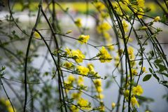 Jasminum mesnyi Royalty Free Stock Photography
