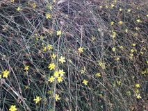 Jasminum Nudiflorum-Anlagen, die im Frühjahr im Garten blühen stockfotografie