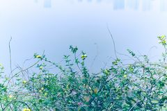 Jasminum nudiflorum Lindl 免版税库存照片