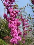 Jasminum nudiflorum Lindl. Royalty Free Stock Photos