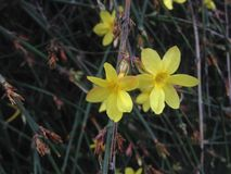 Jasminum Nudiflorum Plants Blossoming in Spring in Garden. Stock Photography