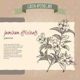 Jasminum officinale aka common common jasmine Stock Image