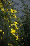 Jasminum Stock Photo