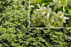 Jasminum Polyanthum Jasmine Flower photographie stock libre de droits