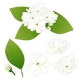 Jasminum sambac - Arabian jasmine. Vector Illustration. isolated on White Background Stock Photography