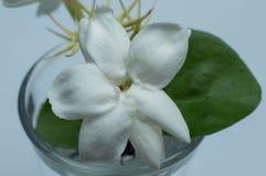 Jasminum sambac Indonesian: melati putih is one of the three national flowers in Indonesia. stock photo