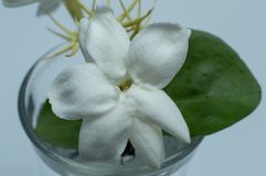 Jasminum sambac indonezyjczyk: melati putih jest jeden trzy krajowego kwiatu w Indonezja zdjęcie stock