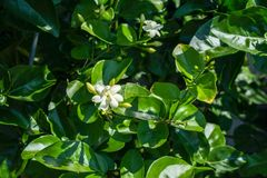 Jasminum sambac oleacea, arabic jasmin flower. Green leaves and white flower bud in summer royalty free stock photo