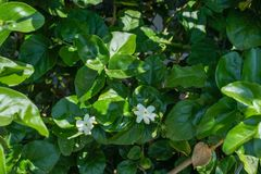 Jasminum sambac oleacea, arabic jasmin flower. Green leaves and white flower bud in summer stock photography