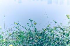 Jasminumnudiflorum Lindl Royalty-vrije Stock Foto's