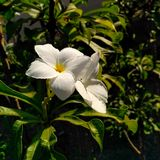 Jasminun grandiflora Immagini Stock