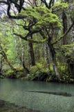 Jasna rzeka w Fiordland parku narodowym, Południowa wyspa, Nowa Zelandia Zdjęcie Stock