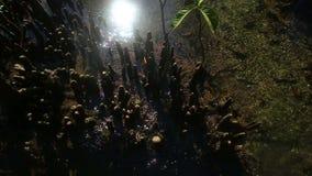 Jasna woda płynie wśród namorzynowych korzeni zdjęcie wideo