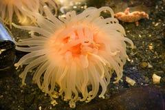 jasne anemonowe pomarańcz różowy zdjęcia royalty free
