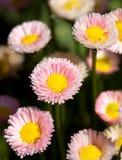 jasne, daisy angielskich Obrazy Stock