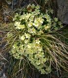 Jasnożółci kwiaty pierwiosnek Obraz Stock