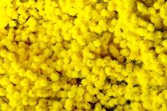 Jasnożółta mimoza zamknięta w górę t?o szczeg fotografia royalty free