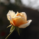 Jasnożółta róża Zdjęcie Stock