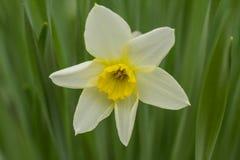 Jasnożółty daffodil Obraz Stock