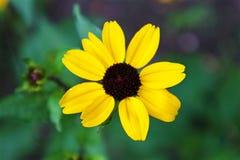 Jasnożółty kwiat Zdjęcia Royalty Free