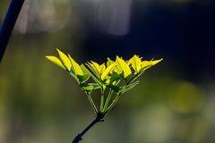 Jasnożółty - zieleń liście na naturalnym tle Zdjęcia Royalty Free