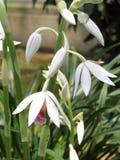 Jasnobrązowa bagno orchidea Obrazy Royalty Free