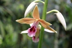 Jasnobrązowa bagno orchidea Obraz Stock