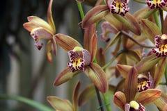 Jasnobrązowa orchidea (Hybrydowy Cymbidium) Obrazy Stock