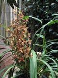 Jasnobrązowa orchidea (Hybrydowy Cymbidium) Zdjęcia Royalty Free