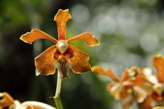 Jasnobrązowa Vanda orchidea Obrazy Royalty Free