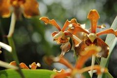 Jasnobrązowa Vanda orchidea Obrazy Stock