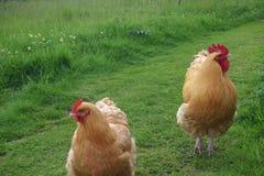 Jasnobrązowy cockerel i karmazynka Zdjęcie Stock