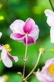 Jasnoróżowego kwiatu Japoński anemon, zakończenie Zdjęcia Stock