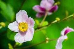 Jasnoróżowego kwiatu Japoński anemon, zakończenie Obraz Royalty Free